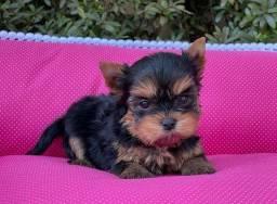 Título do anúncio: Neném de yorkshire terrier macho de porte pequeno