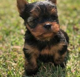 Título do anúncio: Filhote de yorkshire terrier macho disponível a pronta entrega