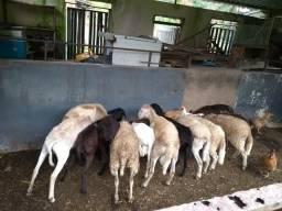 Carneiros ovelhas