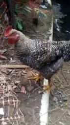 Troco galo por outro de outra espécie ou galinha
