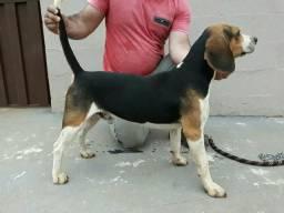 Vendo beagle /americano