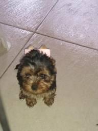 Vendo filhote yorkshire terrier