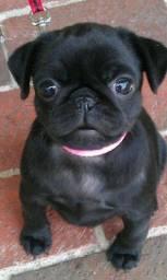 Pug preto/abricot, 7 clinicas e oferecemos suporte veterinário exclusivo em todo Brasil!