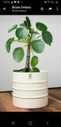 Pilea, planta chinesa dinheiro