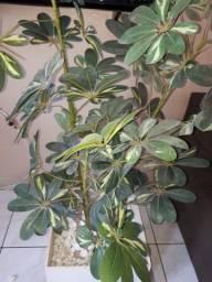 Vendo planta ornamental com vaso de madeura com rodinhas
