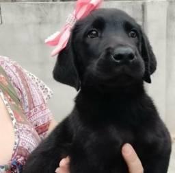 Labrador - Femia