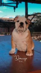 Bulldog inglês fêmea.