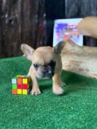 Título do anúncio: Mini Bulldog Frances Fêmea Merle Fawn