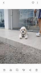 Vende um filhote de lhasa com 7 mês