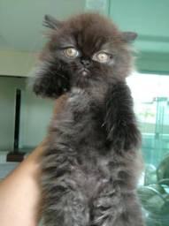 Gatinho persa filhote