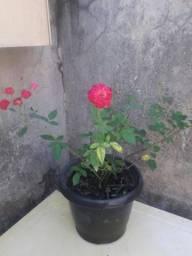 Roseira disponível