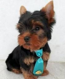 Título do anúncio: Filhotinho de yorkshire terrier macho disponível