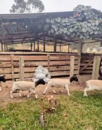 Título do anúncio: Reprodutor Dorper, Borregas e Ovelhas