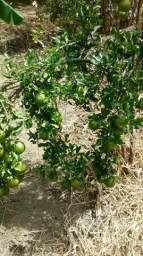 Fruta citrica,mudas tangeria pokan