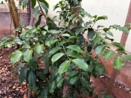 Árvore frutífera araçá