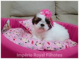 Shihtzu Fêmea Linda Filhote! Império Royal