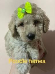 Poodle Micro toy fêmea sua linda filhotinha