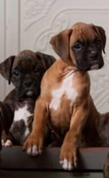 Boxer Lindos Filhotes Fêmea 1.500 à vista