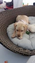 Labrador Macho 2 Meses Com Procedencia