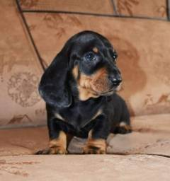 Basset dachshund minis pedigree aceitamos cartões promoção