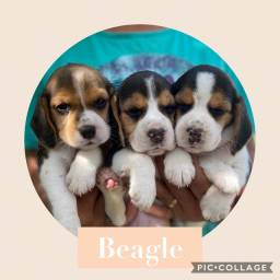 Beagle com pedigree e microchip em até 18x