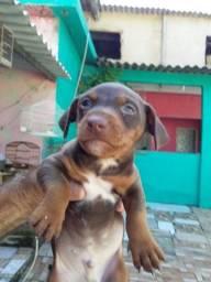 Cachorro basset