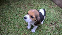 Filhote Beagle Tricolor Fêmea