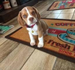 Beagles *