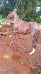 Troco potro QM 2anos e 4mês por égua ou cavalo já adomado