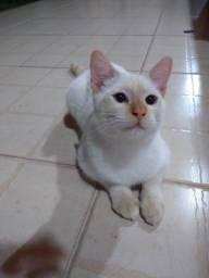 Doação gatinho branco do olho azul