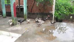 Patos para venda