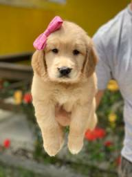 Lindos Filhotes Golden Retriever Pedigree