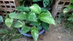 Planta Jibóia Linda