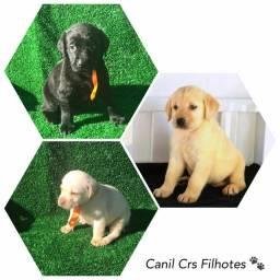 Labrador Retriever com pedigree microchip até 18x