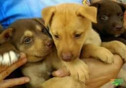 Labrador x Dog Brasileiro