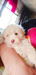Vende-se poodle toy Macho