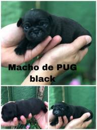 PUG Macho Mini na Promoção