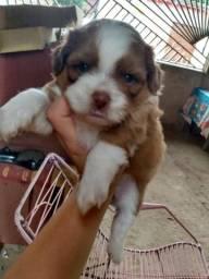 Filhote de shih tzu com poodle