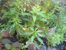 MEDICINA VERDE! Plantas medicinais 100% orgânicas!
