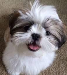Procuro Cachorro Shitzu a venda mais barato em Vitória da Conquista !
