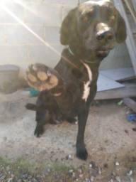 Doação de cachorro macho, dócil, saudável e com vacinas em dia.