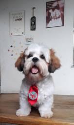 Cachorro Shin Tzu