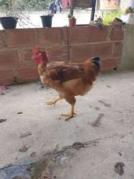 Galo preto, polaco e galinha poedeira