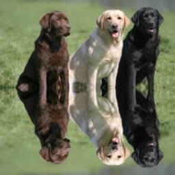 Labradores filhotes puros com procedência