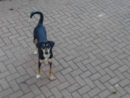 Linda cadela para adoção!!!