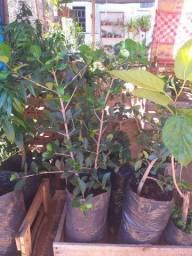 Muda frutas enxertada(acerola/amora