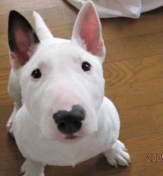 Bull Terrier, macho e fêmea. Não saia de casa, entregamos para você