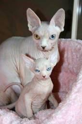 Sphynx lindos filhotes !