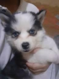 Filhotes Husky siberiano wooly  só  resta uma  fêmea disponível