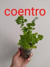 mudas de plantas temperos e hortaliças em sua casa